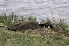 Canada Goose, Branta canadensis on the nest Stock Images