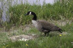 Canada Goose, Branta canadensis nesting Stock Photos