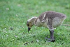 Canada Goose Branta canadensis new born chick on a green meadow, London Ontario, Canada stock image