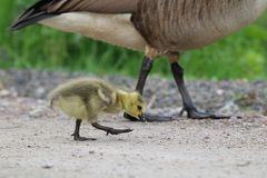 Walking with mother Goose Stock Photo
