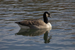 Canada goose, Branta canadensis at a pond in Germany Royalty Free Stock Images