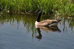 A Canada Goose on the River Stort near Sawbridgeworth in East Hertfordshire royalty free stock images