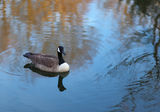 Wild life 1. Canada Goose( Branta canadensis) shot at (D&R Canal) near Princetonship Stock Image