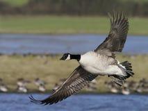 Canada goose, Branta canadensis stock photography