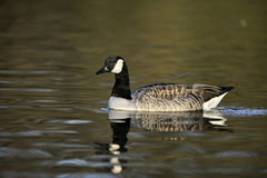 Canada goose, Branta canadensis Royalty Free Stock Images
