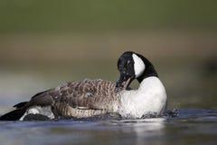 Canada goose, Branta canadensis Royalty Free Stock Image