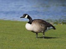 Canada goose, Branta canadensis stock photos