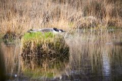 Canada Goose  Branta Canadensis  Sitting On Nest With Eggs. In A Swamp royalty free stock photos