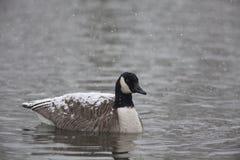 Canada Goose, Branta canadensis, in snow. A Canada Goose, Branta canadensis, in snow Stock Photos