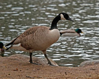 The Canada goose, Branta canadensis Royalty Free Stock Image