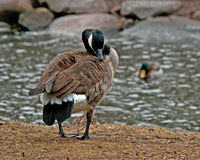 The Canada goose, Branta canadensis Royalty Free Stock Photos