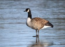 Canada Goose - Branta Canadensis standing on a frozen lake. Canada Goose - Branta Canadensis with excellent detail standing on a frozen lake in a Worcestershire stock image