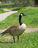 Canada goose Branta canadensis standing on the grass. Near Cherry Creek trail in Denver, Colorado royalty free stock photo