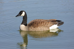 Canada Goose (Branta canadensis) Swimming Royalty Free Stock Photos