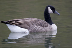 Canada Goose, Branta canadensis, swimming Royalty Free Stock Image