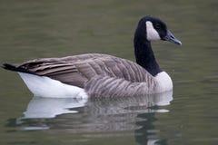 Canada Goose, Branta canadensis, swimming Royalty Free Stock Image