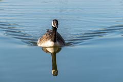Canada goose branta canadensis swimming on a calm lake with reflection. On a calm lake stock photos