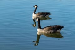 Canada goose branta canadensis swimming on a calm lake with reflection. During the start of spring stock photography