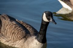 Canada goose branta canadensis swimming on a calm lake with reflection. During the start of spring royalty free stock images