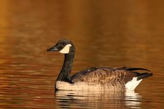 Canada Goose Swimming on Gold Water stock photos