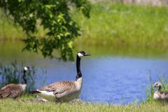 Canada goose Branta canadensis with their goslings. Spring time in USA royalty free stock images