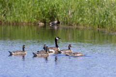 Canada goose Branta canadensis with their goslings. Spring time in USA stock image