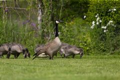 Canada goose Branta canadensis with their goslings. Spring time in USA royalty free stock image