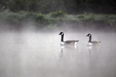 Canada goose, Branta canadensis. Two birds on water in mist, Midlands, April 2011 stock photos