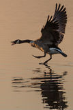 Canada Goose (Branta canadensis) walking on water Royalty Free Stock Images