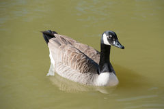 Canada Goose, Branta canadensis, in water Stock Images