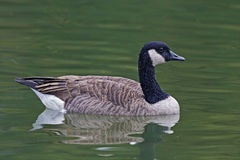 Canada Goose, Branta canadensis, on the water Royalty Free Stock Photography