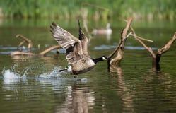 Canada Goose, Branta Canadensis Stock Image