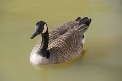 Canada Goose, Branta canadensis, in water Royalty Free Stock Image