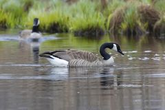 Canada Goose, Branta canadensis. In the water surface, animal in the nature lake grass habitat royalty free stock photography