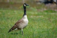 Canada goose Stock Photo