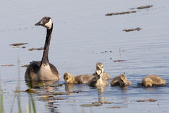 Canada Goose, Branta canadensis, with young Royalty Free Stock Images