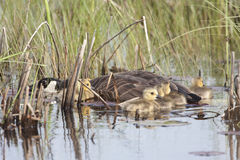 Canada Goose, Branta canadensis, with young chicks Royalty Free Stock Photo