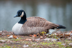 Canada goose (Branta canadensis) Royalty Free Stock Photography