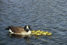 Canada Goose Brood Royalty Free Stock Photography