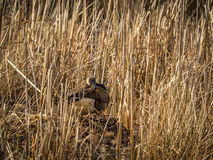 Canada Goose Building Nest Royalty Free Stock Image