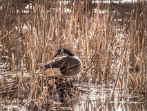 Canada Goose Building Nest in Swamp Royalty Free Stock Images