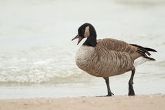 Canada Goose Calling on a Beach royalty free stock photos
