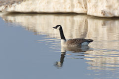 Canada Goose calling in early spring with Lake Huron ice in back Royalty Free Stock Photography