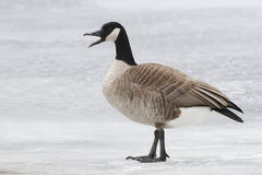 Canada Goose Calling on a Frozen River Stock Images