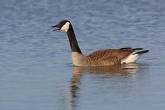 Canada Goose Calling on Lake Huron Stock Photos
