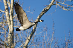 Canada Goose Calling Out White Flying Past the Winter Trees Stock Photos