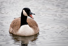 Canada Goose Calling on the Water Stock Photos