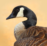 Canada Goose. Canadian Goose Close up with his neck in an s shape. The background is a blurred Peach colored Sandy Beach royalty free stock photo
