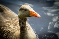 Grey goose standing in water. Close up shot royalty free stock photos