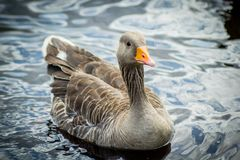 Canadian goose in water. Canadian goose swimming in the canal water on a sunny day stock image